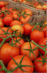 Supplies of Tomatoes Red Round